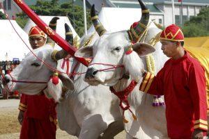 «Быки предсказали хороший год»: в Таиланде прошла церемония Первой борозды