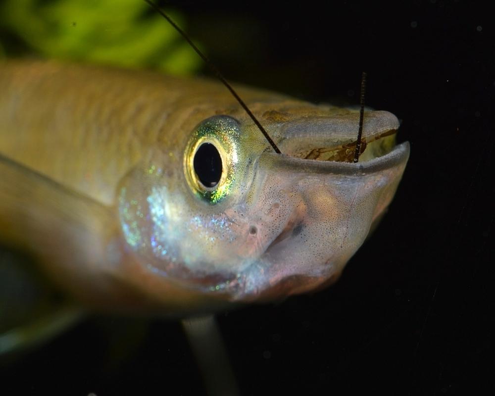 В США рыба эволюционировала, чтобы выжить в загрязненных водах