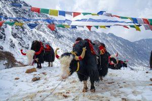 В Индии 300 яков погибли в снежной ловушке