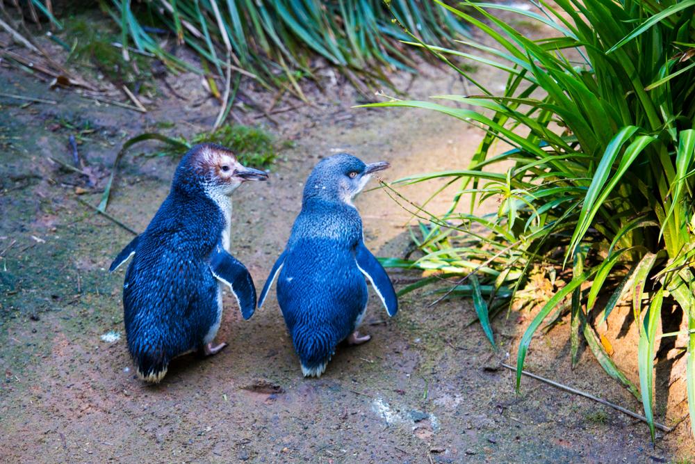 В ирландском океанариуме большинство пингвинов оказались геями