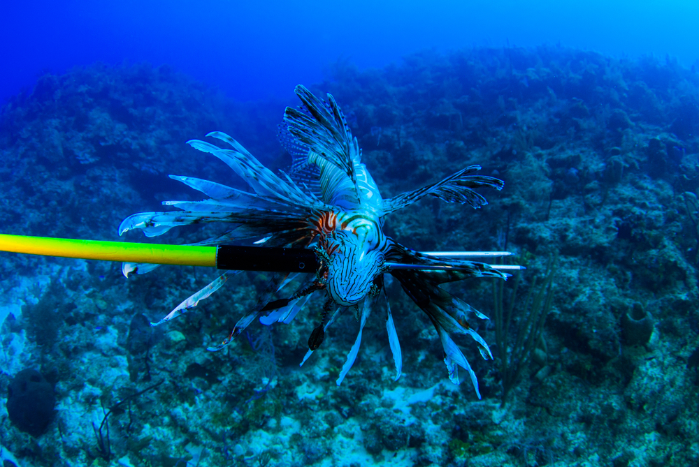 На Кипре отстреливают ядовитых рыб-крылаток