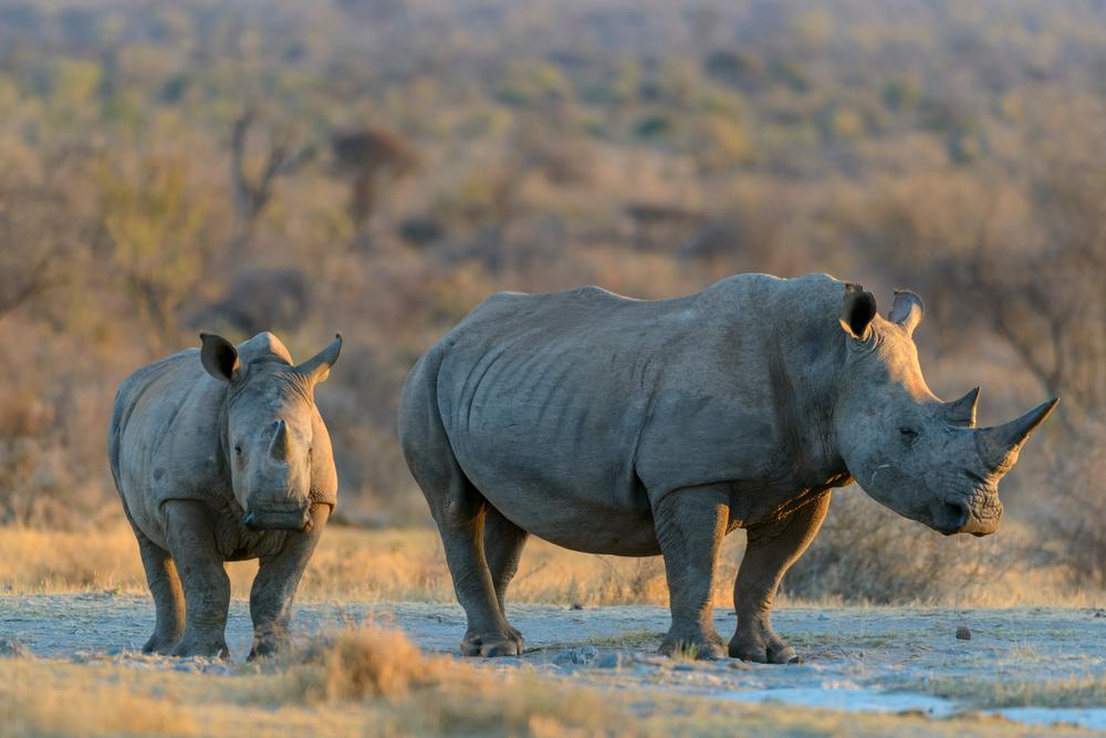 Робот может спасти от исчезновения северного белого носорога