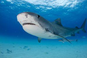 Тигровые акулы едят наземных птиц, прежде чем начинают охотиться в море