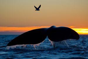 Южные киты исчезают из-за потепления океана