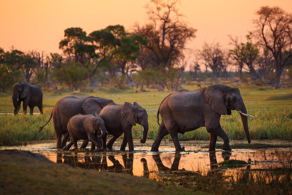 Ботсвана сняла запрет на охоту на слонов: защитники природы потрясены
