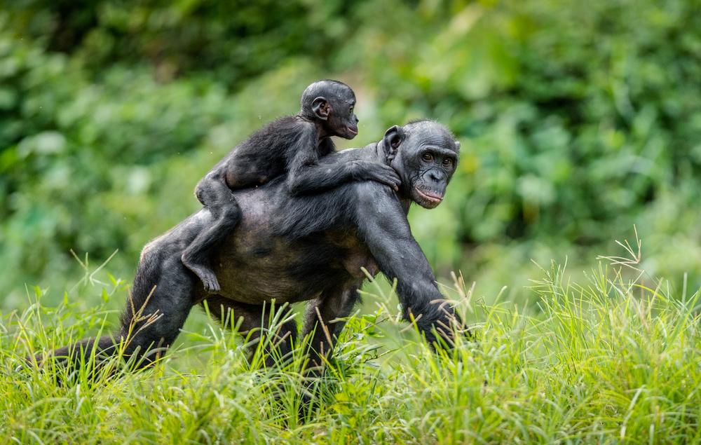мамы-бонобо