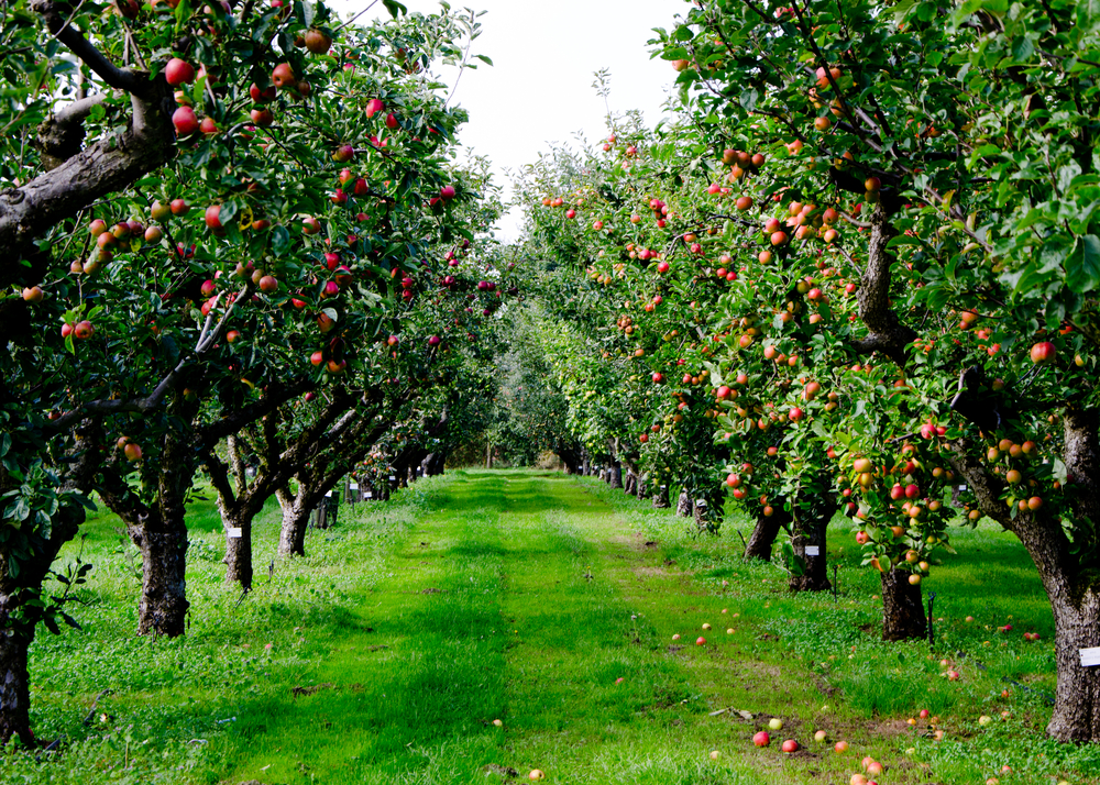 Одомашнивание яблони началось без людей