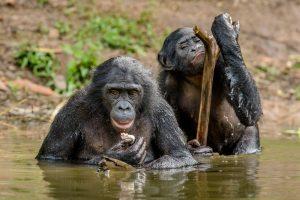 Напористые мамы бонобо помогают сыновьям найти партнершу: ученые
