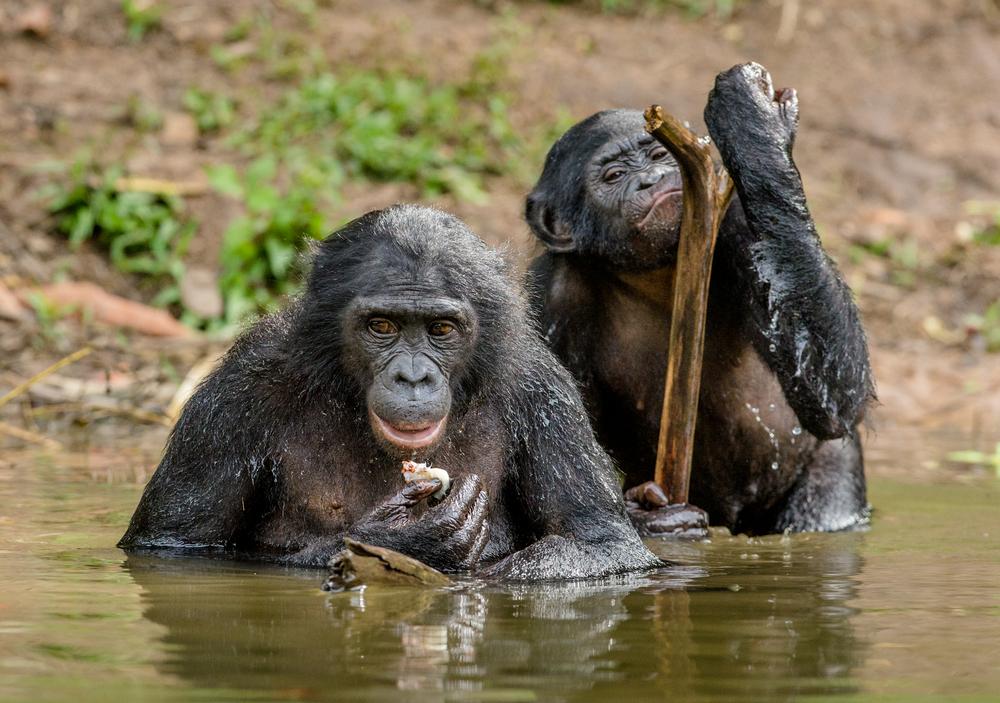 Напористые мамы бонобо помогают сыновьям найти партнершу: ученые.Вокруг Света. Украина