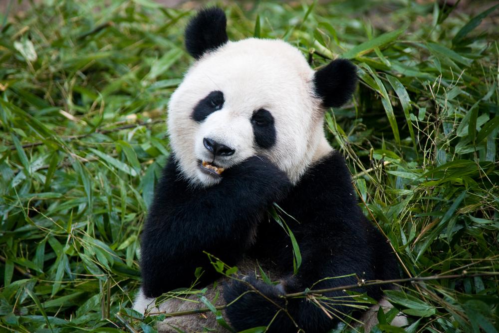 Большие панды - не вегетарианцы, а хищники: ученые