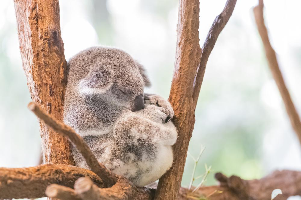 В Австралии вымирают коалы: их осталось всего лишь 80 тысяч