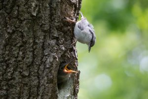 Птенец выпал из гнезда: как ему помочь?