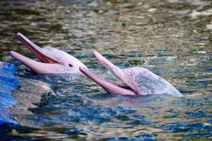 История розовой дельфинихи Пинки и ее потомства