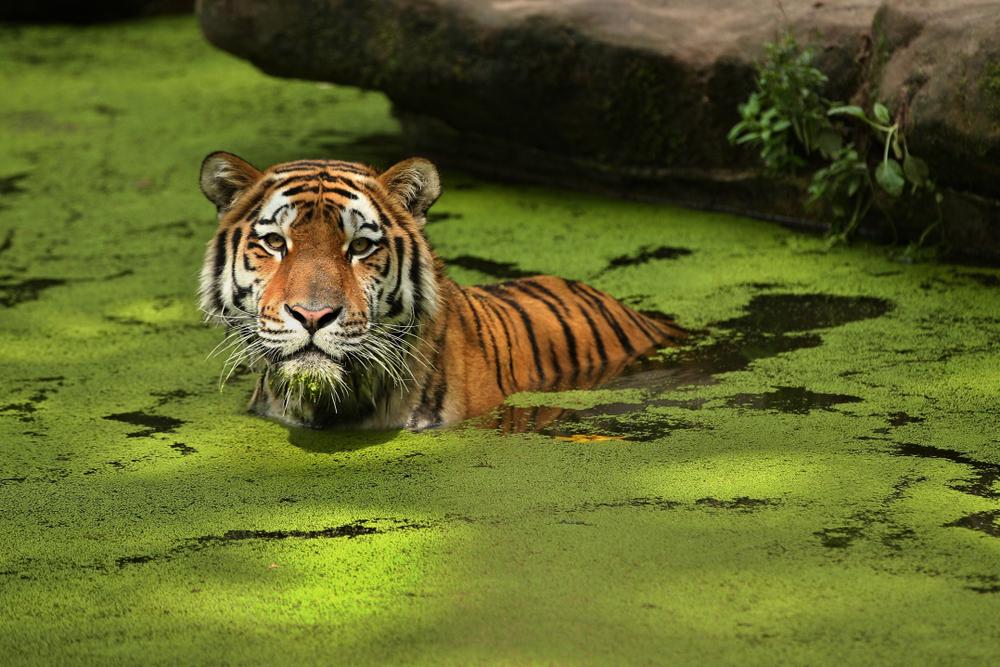 Потенциальные жертвы тигров видят их зелеными