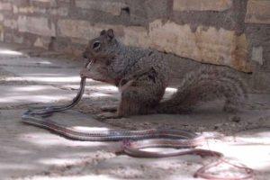 Белка напала на змею и съела ее