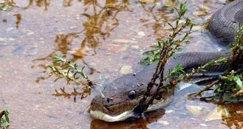 В Австралии питон проглотил крокодила