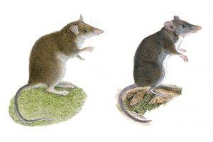 Зоологи открыли два новых вида землеройковых крыс