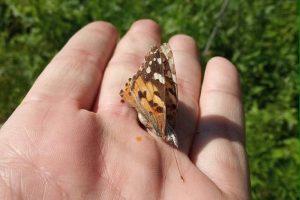 Киев заполонили бабочки из Африки
