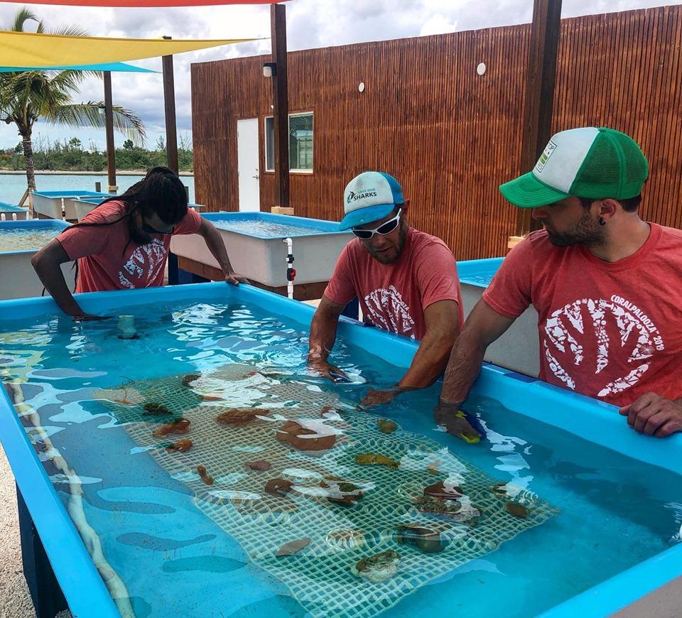 Коралловая ферма на Багамах возрождает рифы