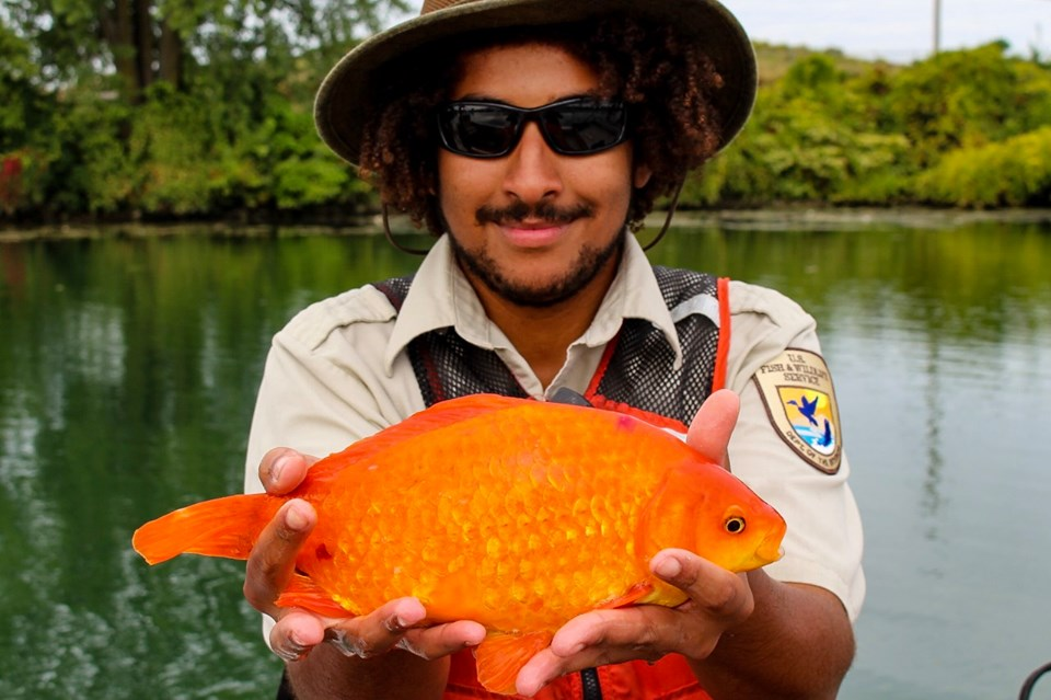 В Ниагаре поймали гигантскую золотую рыбку.Вокруг Света. Украина