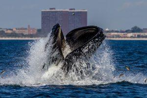 Побережье Нью-Йорка наводнили киты – почему?