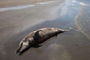 В Мексиканском заливе погибли сотни дельфинов