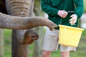 Слоны умеют считать с помощью обоняния