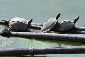 Редких вымирающих черепах обнаружили в пруду индийского храма