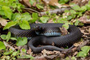 Что делать, если вас укусила ядовитая змея?