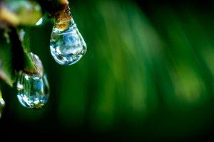 Пшеница умеет чихать — ботаники