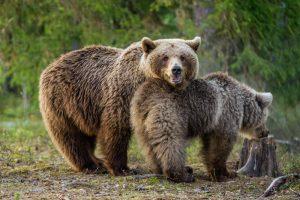 В Словении будут отстреливать медведей и волков