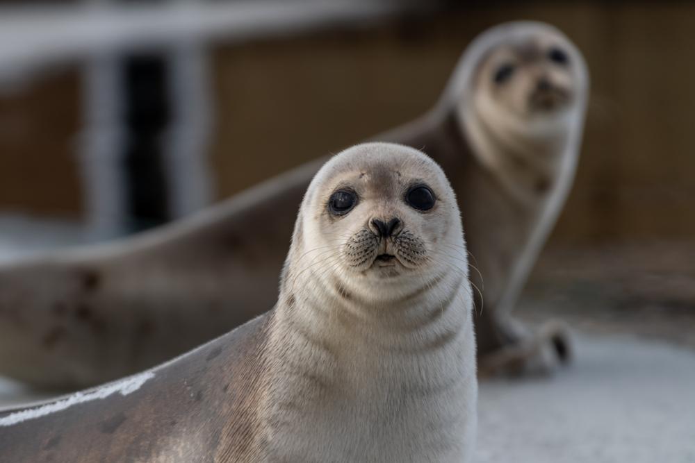 В Шотландии тюлени научились петь