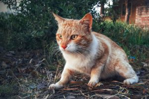 Корсиканские лесники обнаружили кошек-лис
