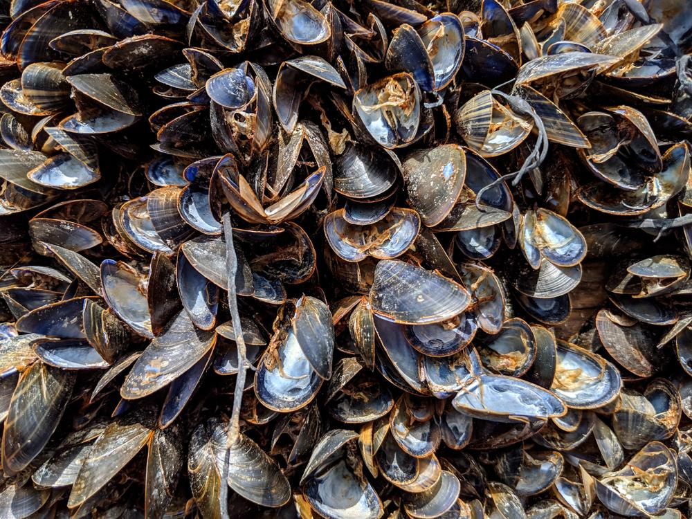 Из-за жары на побережье Калифорнии спеклись мидии