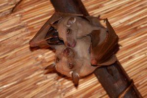 Мозг летучих мышей «синхронизируется», когда они находятся рядом