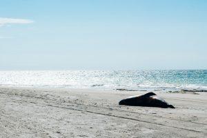 На Аляске обнаружено около 60 мертвых тюленей