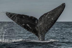 В Канаде погибли шесть редчайших североатлантических китов