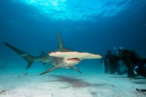 Хрупкая костариканка защищает акулу-молот