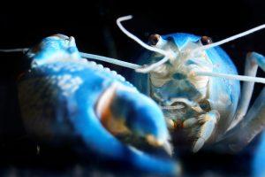 В американском ресторане пощадили редкого синего лобстера