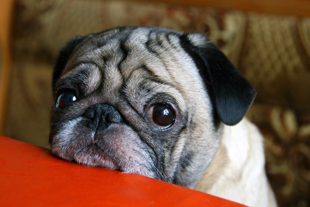 Собаки развили мышцы вокруг глаз, чтобы манипулировать хозяевами.Вокруг Света. Украина
