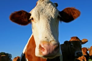В Бразилии зафиксирован нетипичный случай коровьего бешенства