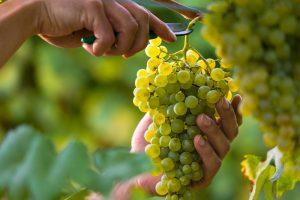 Во Франции нашли средневековый виноград