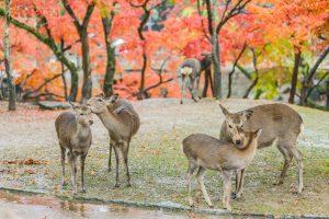 Знаменитые олени японского парка Нара умерли из-за пластика