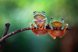 Кожная бактерия защитит лягушку от смерти