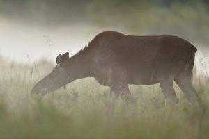 В Черниговской области браконьер убил краснокнижного лося