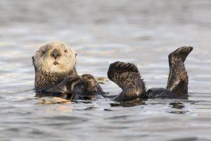 Морские выдры могут исчезнуть из-за потери генетического разнообразия