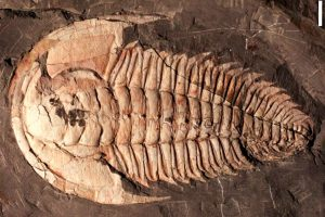 В Австралии обнаружили останки гигантского трилобита