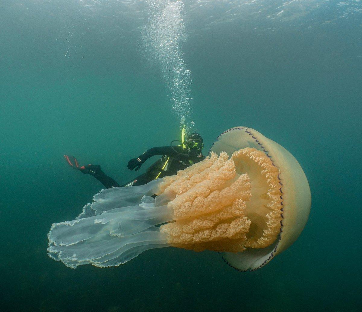 В Великобритании нашли медузу крупнее человека.Вокруг Света. Украина