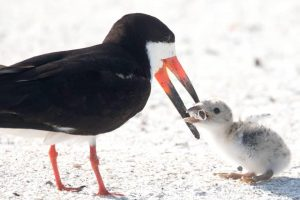 Птица кормит птенца окурком - душераздирающее фото с американского пляжа