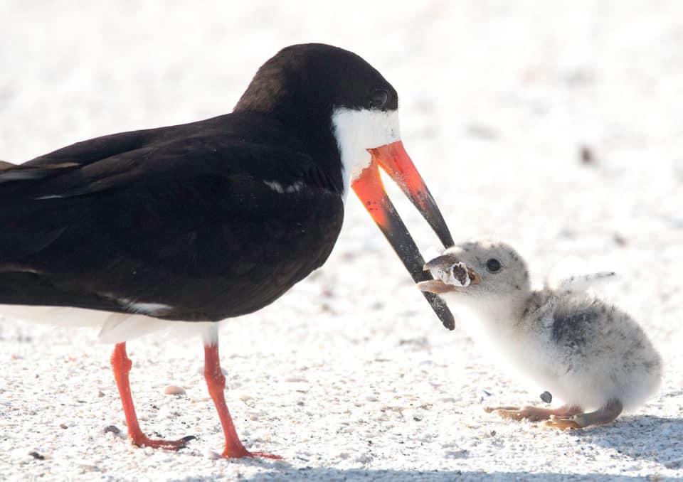 Птица кормит птенца окурком - дешраздирающее фото с американского пляжа